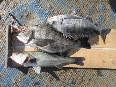 <p>枚方市の山本様、旧の赤灯で、チヌ 42cmまで2匹・ハネ 40cm 1匹 ウキ釣り 餌シラサエビ</p>