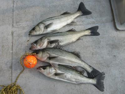<p>松原市の中島様(ハネ研)、中波止3番で、40~45cmのハネ 4匹</p> <p>ウキ釣り 餌シラサエビ</p>