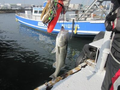 <p>岸和田市の田中様、中波止で50cmのハネです!</p> <p>釣り方 エビ撒き釣り</p>