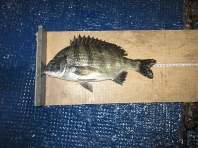 <p>堺市の岡田様、旧の一文字白灯で、チヌ33cm 1匹</p> <p>ウキ釣り 餌シラサエビ</p>