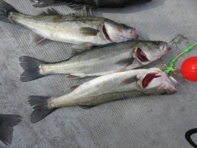 <p>堺市の菅ちゃん、中波止で50cmほどのハネ3匹・アイナメです!</p> <p>ウキ釣り 餌・シラサエビ</p>