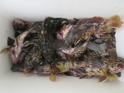 <p>岸和田市の稲村様、沖の一文字スリットで、ガシラ 23cmまで32匹</p> <p>ズボ釣り 餌シラサエビ</p> <p>&nbsp;</p>