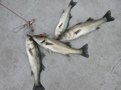 <p>忠岡町の前田様、中波止3番で、ハネ40cm前後 4匹</p> <p>ウキ釣り 餌シラサエビ</p>