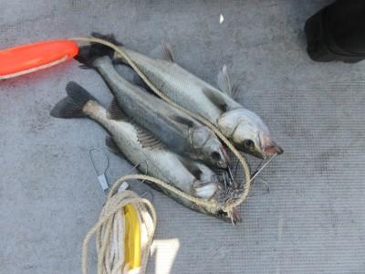 <p>東大阪市の高岡様、中波止でハネ3匹です!!</p> <p>ウキ釣り・餌、シラサエビ</p>