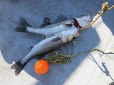 <p>松原市の中島様、中波止で、ハネ2匹です!!</p> <p>ウキ釣り・餌、シラサエビ</p>