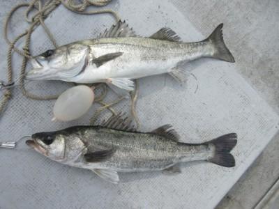 <p>枚方市の岩田様、沖の北で55cmまでのハネ2匹です!!</p> <p>ウキ釣り・餌、シラサエビ</p>