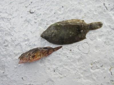 <p>和泉市の宮嵜様、沖の一文字で、手のひらサイズのカレイ1匹・ガシラ 1匹</p> <p>投げ釣り  餌アオイソメ</p>