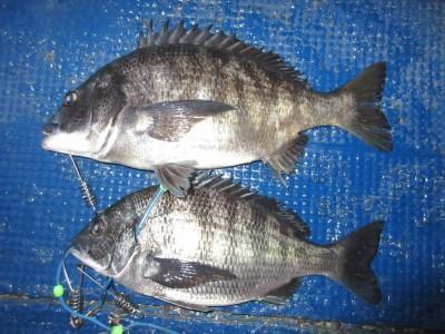 <p>堺市の岡田様、中波止3番で、チヌ43cmまで2匹</p> <p>フカセ釣り 餌オキアミ</p>