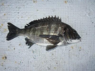 <p>和泉市の松原様、中波止3番で、チヌ 42cm 1匹</p> <p>フカセ釣り 餌オキアミ</p>