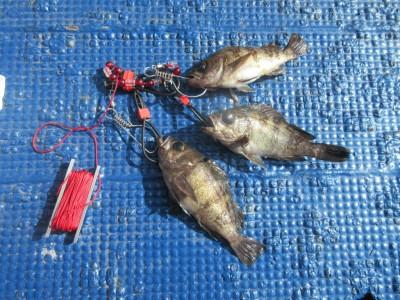 <p>岸和田市の河合様、沖一文字カーブで、エビ撒きつりで</p> <p>20cm程のメバルです!!</p> <p>メバル・ガシラ等の根魚の釣果が徐々に目立ってきました♪</p>