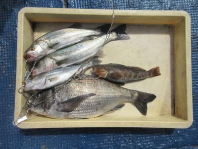 <p>富田林市の宝来様、中波止2番で、</p> <p>47cmのチヌ・セイゴ・アブラメです!!</p> <p>エビ撒き釣りでの釣果です♪♪</p>