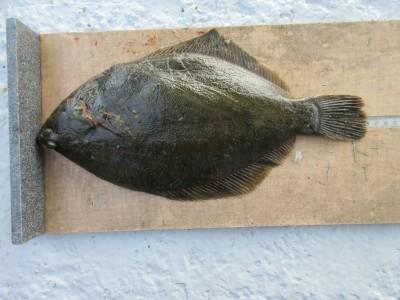 <p>寝屋川市の中司様、沖の一文字で、カレイ 36cm 1匹</p> <p>投げ釣り 餌青イソメ</p> <p>&nbsp;</p>