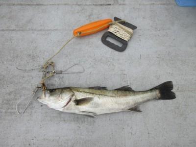 <p>京都府からお越しの西岡様 沖の一文字で57cmのハネ1匹です!</p> <p>ウキ釣り、餌・シラサエビ</p>