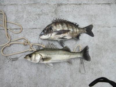 <p>岸和田市からお越しの三谷様 中波止3番で37cmのチヌ1匹と40センチのハネ1匹です!</p> <p>ウキ釣り、餌・シラサエビ</p>