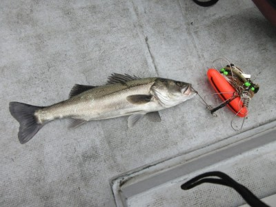 <p>岸和田市からお越しの田中様 中波止2番で63cmのスズキ1匹です!</p> <p>ウキ釣り、餌・シラサエビ</p>
