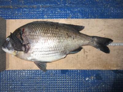 <p>河内長野市の原様、中波止2番で、チヌ 47cm 1匹</p> <p>フカセ釣り 餌オキアミ</p>