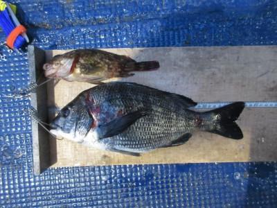 <p>奈良県天理市の森田様、沖の一文字白灯で、チヌ 38cm 1匹</p> <p>ウキ釣り 餌シラサエビ</p>