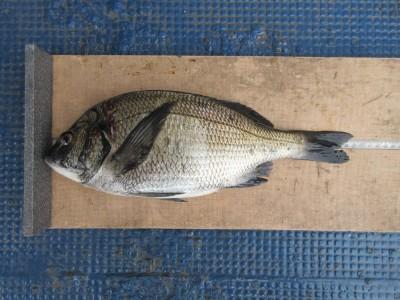 <p>河内長野市の原様、中波止2番で、チヌ 38.5cm 1匹</p> <p>フカセ釣り 餌オキアミ</p>