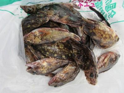 <p>富田林市の渡辺様、沖の一文字で、ガシラ20cmまで15匹</p> <p>ズボ釣り 餌シラサエビ</p>