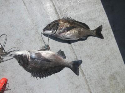 <p>岸和田市の田中様、沖一文字白灯で</p> <p>44cm・41cmのチヌ2匹です!!</p> <p>ウキ釣り、餌・シラサエビ</p>