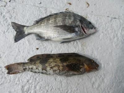 <p>岸和田市の田中様、沖一文字白灯で</p> <p>37cmのチヌ・38cmのアブラメです!!</p> <p>ウキ釣り、餌・シラサエビ</p>