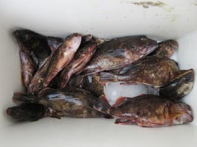 <p>岸和田市の稲村様、沖の一文字で、ガシラ20cm前後まで20匹</p> <p>ズボ釣り 餌シラサエビ</p>