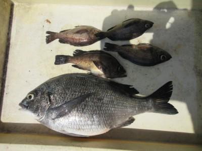 <p>富田林市の宝来様、沖の一文字白灯で、チヌ40cm1匹・メバル 4匹</p> <p>ウキ釣り 餌シラサエビ</p>