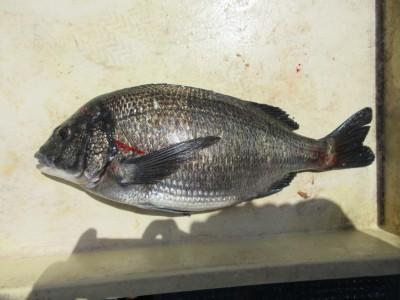 <p>枚方市の本石様、沖の一文字白灯で、チヌ41cm 1匹</p> <p>ウキ釣り 餌シラサエビ</p>