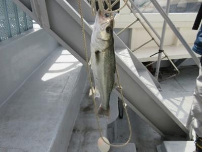 <p>枚方市の岩田様、沖一文字の北で、</p> <p>44cmのハネGETです!!</p> <p>シラサエビのウキ釣りでの釣果です。</p>