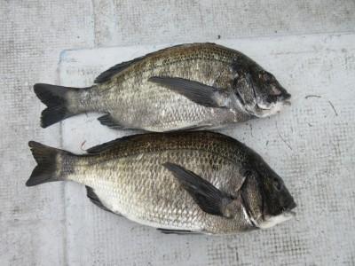 <p>忠岡町の前田様、沖の一文字北で、チヌ40cm前後まで2匹</p> <p>フカセ釣り 餌オキアミ</p>