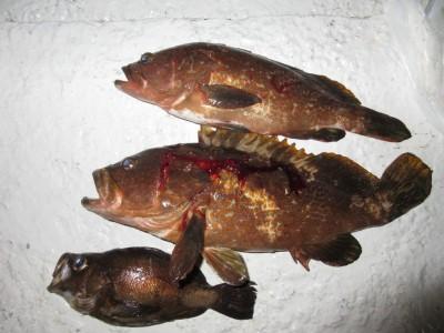 <p>枚方市の小南様、沖の一文字白灯で、アコウ40.5cmまで2匹・メバル25cm前後1匹</p> <p>ウキ釣り 餌シラサエビ</p>