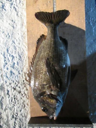 <p>長野県の松永様、中波止3番で、チヌ42cm 1匹</p> <p>フカセ釣り 餌オキアミ</p>