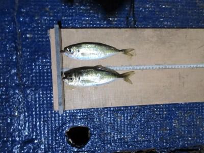 <p>堺市の善ちゃん、沖一文字北で</p> <p>21cmまでのアジです!!</p> <p>サビキ釣りでの釣果です!</p>