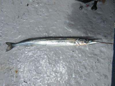 <p>奈良県の松田様、沖一文字北で</p> <p>37センチのサヨリです!!</p> <p>飛ばしサビキで餌、オキアミ</p>