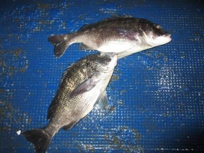 <p>大阪市の雨島様、沖の一文字で、チヌ 44cmまで2匹</p> <p>フカセ釣り 餌オキアミ</p>
