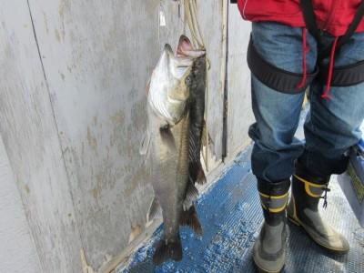 <p>枚方市の岩田様、沖の一文字北で、スズキ 62cmまで2匹</p> <p>ウキ釣り 餌シラサエビ</p>