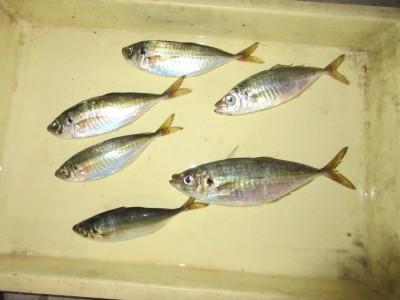 <p>岸和田市の梅谷様、サビキ釣りで</p> <p>28cmまでのアジ6匹です!!</p>