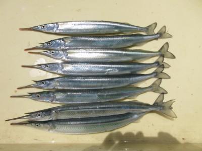 <p>岸和田市の梅谷様、沖一文字北で</p> <p>30cmのサヨリ10匹です!!</p> <p>朝9時から入れ食いと言ってました♪♪</p>