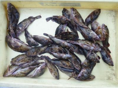 <p>富田林市の渡辺様、沖の一文字白灯で、ガシラ20cm前後 32匹</p> <p>ズボ釣り 餌シラサエビ</p>