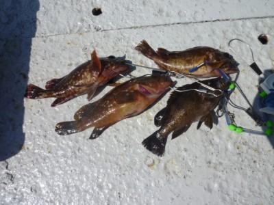 <p>泉大津市の鳩山様、沖一文字で</p> <p>23~25cmのガシラ、メバル等です!!</p> <p>ウキ釣り、餌・シラサエビ</p>