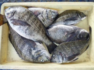 <p>堺市の諸永様、沖の一文字で、チヌ 43cmまで8匹</p> <p>紀州釣り 餌オキアミ</p> <p>&nbsp;</p>