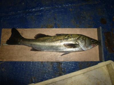 <p>貝塚市の津田様、沖の一文字白灯で、スズキ 62.5cmまで2匹・チヌ 1匹</p> <p>ウキ釣り 餌シラサエビ</p>