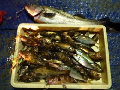 <p>貝塚市の津田様、沖の一文字で、アジ・ガシラ・メバル・アコウ・ハネ</p> <p>ウキ釣り 餌シラサエビ</p>