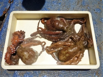 <p>岸和田市の西村様、沖一文字南で</p> <p>1,1キロまでのタコ3匹です!!</p> <p>釣り方・タコジグ</p>