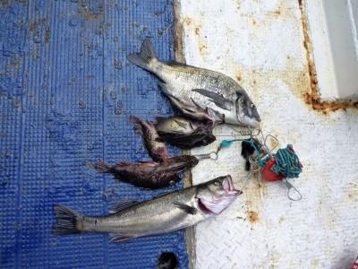 <p>&nbsp;</p> <p>堺市の前田様、沖一文字北で</p> <p>41㎝のチヌ・47cmのハネ・23㎝までのメバル、ガシラ</p> <p>釣り方・エビ撒き釣り</p>