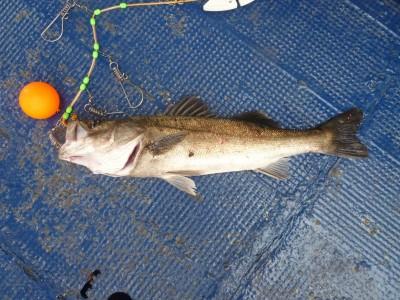 <p>岸和田市の今橋様、沖一文字で</p> <p>57cmのハネ</p> <p>釣り方・エビ撒き釣り</p>