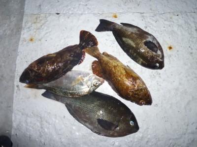 <p>茨木市の奈良平様、沖の一文字北で、ガシラ 2匹・グレ 2匹</p> <p>ウキ釣り 餌シラサエビ</p>