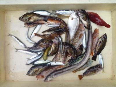 <p>大阪市の大矢様、沖の一文字北で、アナゴ・ガシラ・アコウ・メバル・イワシ</p> <p>ウキ釣り 餌シラサエビ</p>