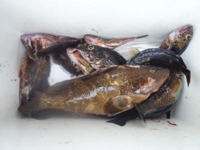 <p>岸和田市の稲村様、沖の一文字で、アコウ 28cm 1匹・ガシラ 13匹</p> <p>ズボ釣り 餌シラサエビ</p>