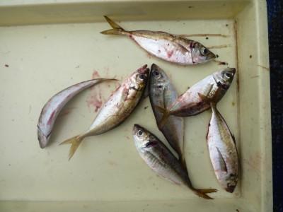 <p>東大阪市の今中様、沖の一文字白灯で、アジ 23~24㎝ 7匹</p> <p>ウキ釣り 餌シラサエビ</p>
